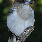 Young Butcher bird my backyard Brisbane by Steve Bass