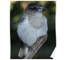 Young Butcher bird my backyard Brisbane Poster