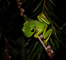 tree frog by Helenvandy
