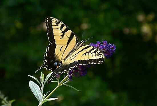 Yellow Swallowtail by filmdalight
