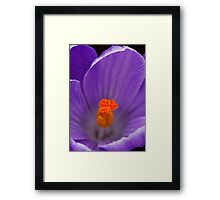 Purple Crocus Framed Print