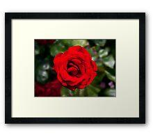 Red red rose Framed Print