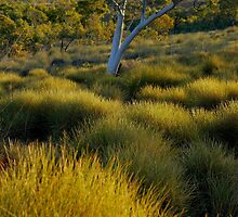Soft Spinifex? by steve nicholson
