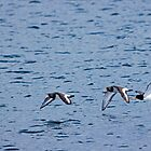 Oyster catchers in flight by Stephen Lawlor