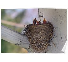 Hungry Baby Robins Poster