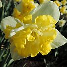Double Hybrid Daffodil by Marilyn Harris