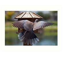 Ring Necked Dove (Outside My Window) Art Print
