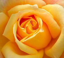 Rose by vbk70