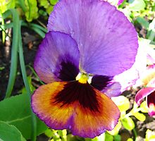 Pansy bleed by MarianBendeth