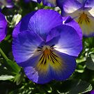 Perfect Purple Pansy. by Lee d'Entremont