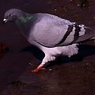 The Feral Pigeon by snapdecisions