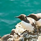 Guillemot pair by jaffa