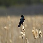 Jaunt!  - Red Winged Black Bird - Mer Bleue Bog, Greenbelt, Ottawa, Ontario by Yannik Hay