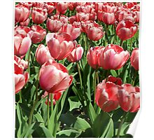 PINK TULIPS. Poster