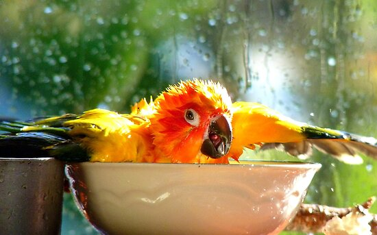 I'm Singing In The Rain..!!! - Sun Conure - NZ by AndreaEL