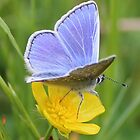 Blue butterfly and a buttercup by Pauline-W