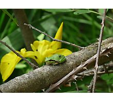 European Tree Frog Photographic Print