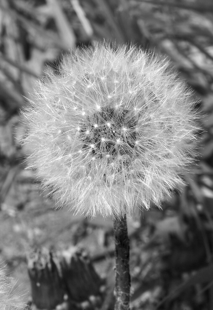 051311-94   FLUFFY IN BLACK & WHITE by MICKSPIXPHOTOS