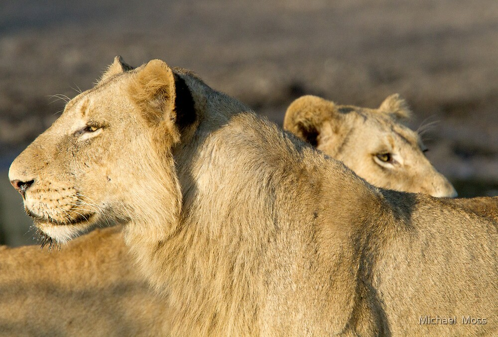 Lions by Michael  Moss