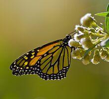 Butterfly by corsefoto