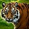 ~Sumatran Tiger! by a~m .