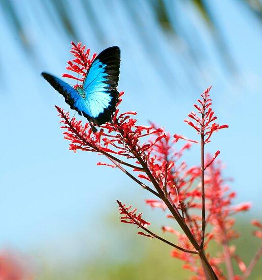 The beautiful Ulysses butterfly by Jenny Dean