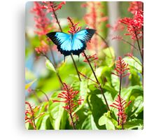 Tropical Treat - Ulysses butterfly Canvas Print