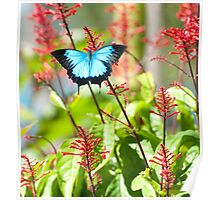 Tropical Treat - Ulysses butterfly Poster