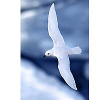 Snow Petrel Photographic Print