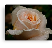 Delicate rose in the rain Canvas Print