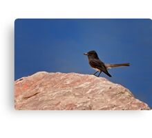 Black Phoebe Canvas Print