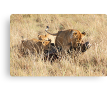 Female Lion with Cubs, Moving the Kill, Maasai Mara, Kenya  Canvas Print