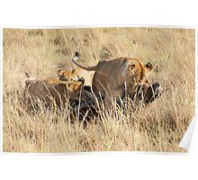 Female Lion with Cubs, Moving the Kill, Maasai Mara, Kenya  Poster