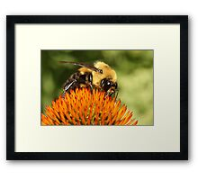 Big Bumble Bee Framed Print