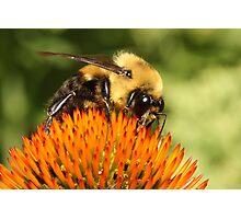 Big Bumble Bee Photographic Print