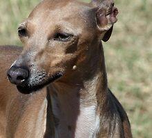 Italian Greyhound - Cosette by RainbowsEnd