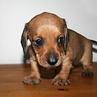 Dachshund Puppy by RainbowsEnd