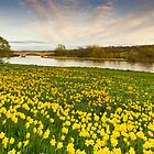 River Dee and the Sea of Yellow Daffodils by Bill Buchan