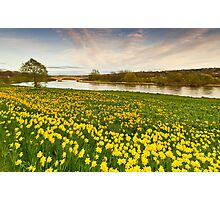 River Dee and the Sea of Yellow Daffodils Photographic Print