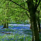 Bluebell Woods at Ashridge by JMChown