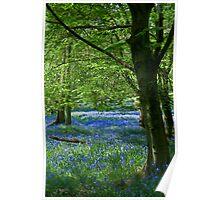 Bluebell Woods at Ashridge Poster
