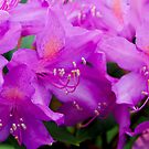 Rhododendron Flower by 7horses