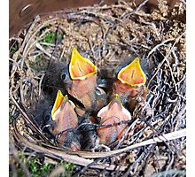 Prothonotary Warbler Babies Photographic Print