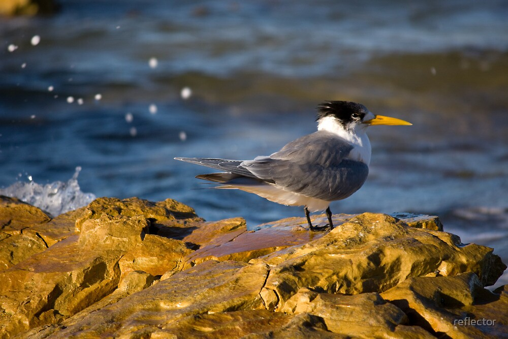 Tern On The Rocks by reflector