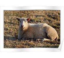 The sheep love to be outdoors Poster