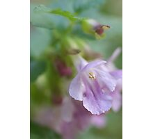 Showy Calamint Photographic Print