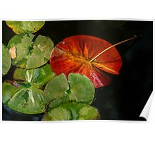 Complementary colors in the lily pad pond Poster