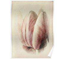 Pastel Tulip © Poster