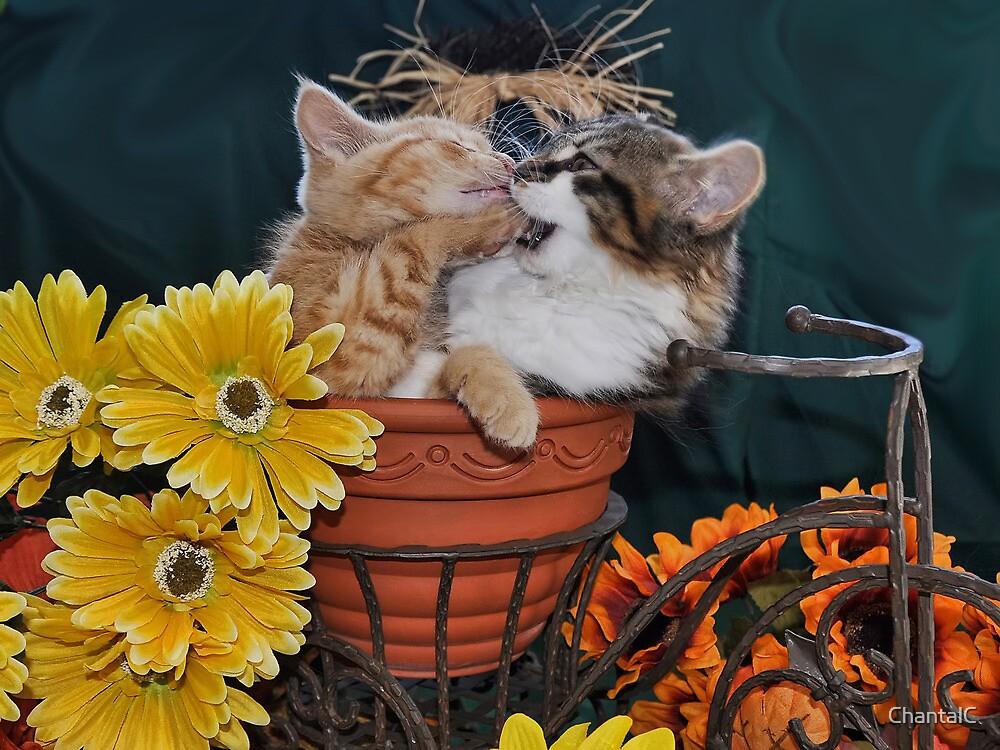 Venus & Di Milo ~ Foot in Mouth ~ Kitty Cat Kitten in Fall Colours by Chantal PhotoPix