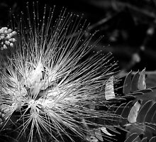 Mimosa in Black and White by Sheryl Gerhard